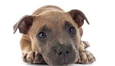 prendre soin de son Staffordshire Bull Terrier