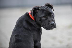 surveillance comportement Staffordshire Bull Terrier